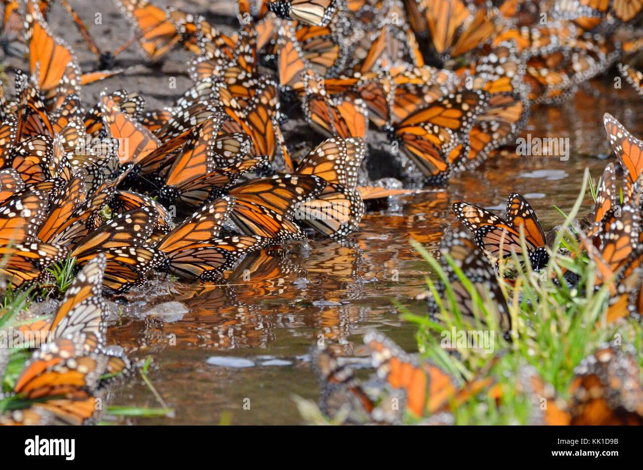 Monarch Butterflies drinking at creek, danaus plexippus, Michoacan, Mexico - Stock Image