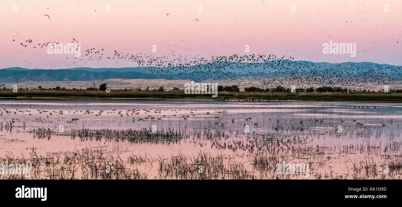 Flocks of geese and ducks at dusk, , Sacramento Wildlife Refuge - Stock Image