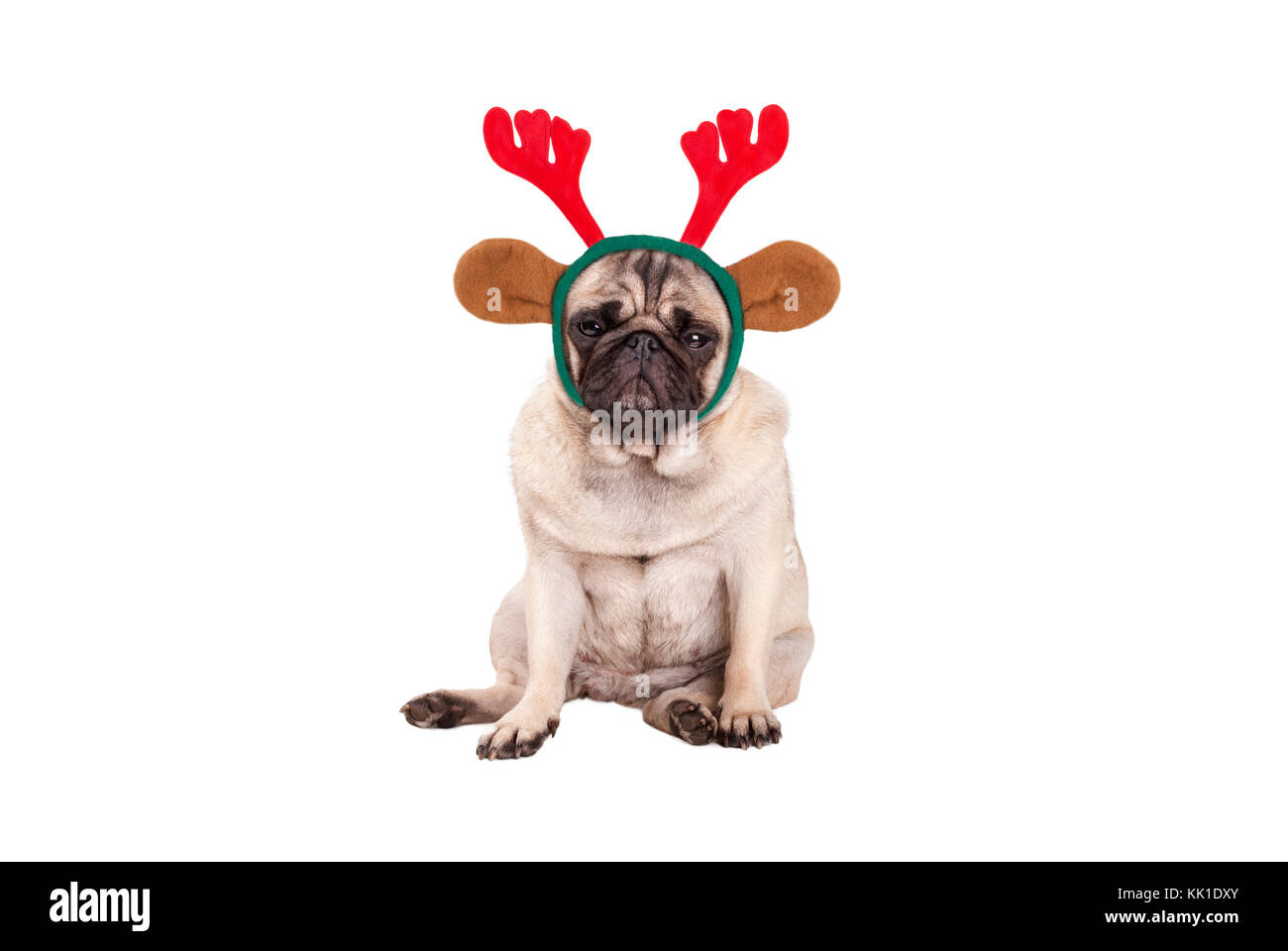 cute pug puppy dog with reindeer antlers diadem for Christmas, sitting down, looking grumpy, isolated on white background - Stock Image