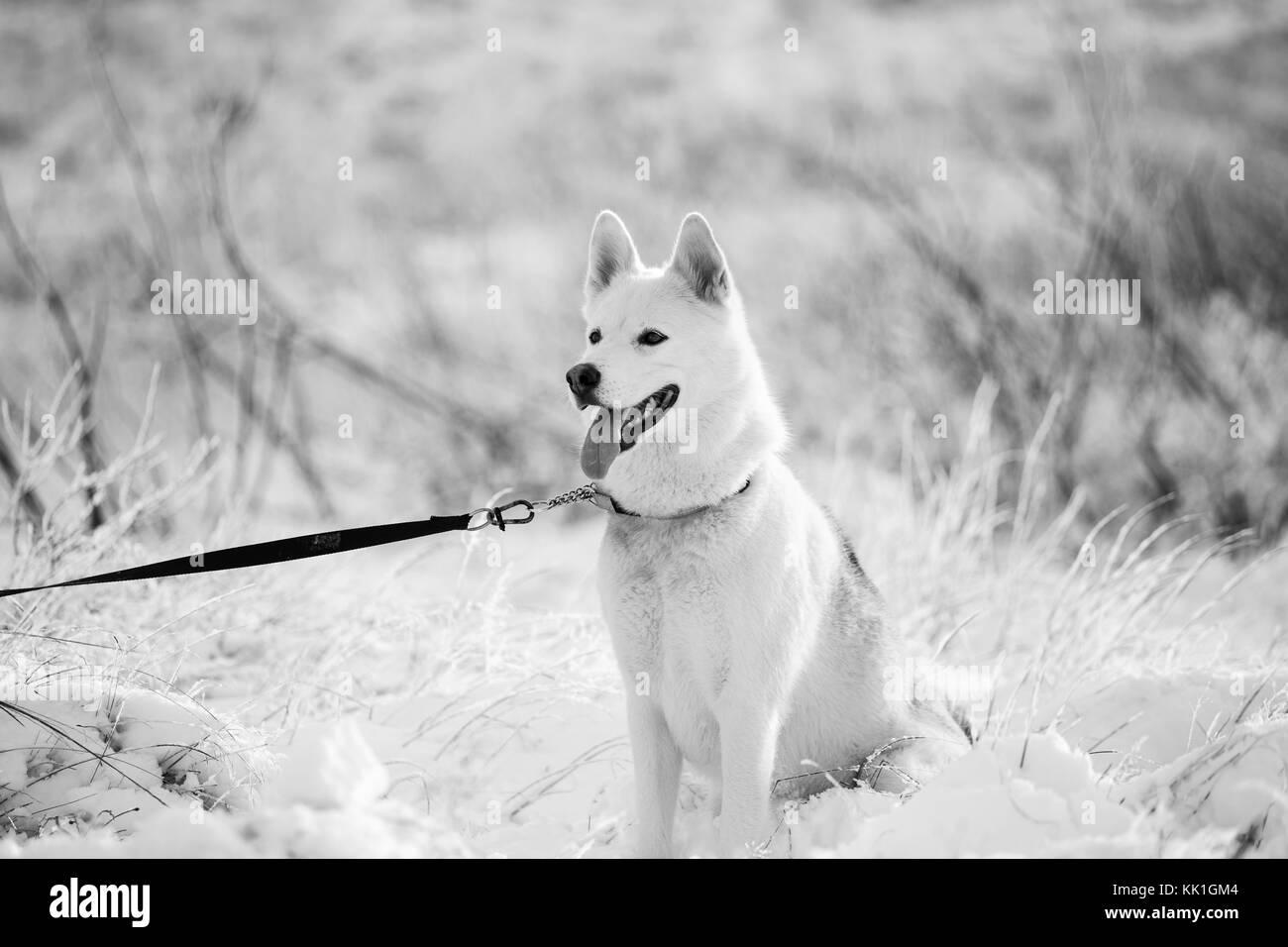 Husky dog stands on the snow winter mood - Stock Image