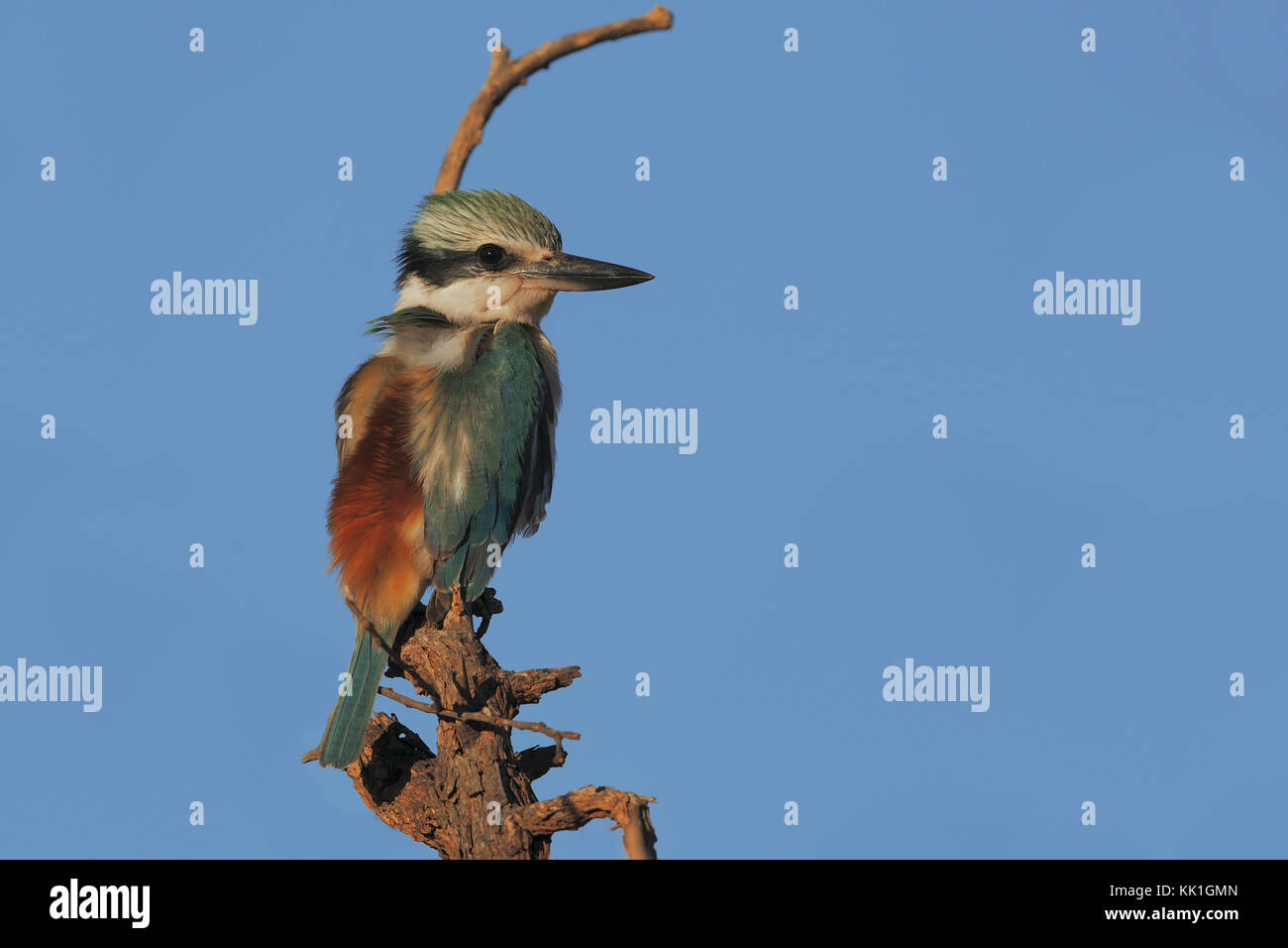 Red-backed Kingfisher - Stock Image