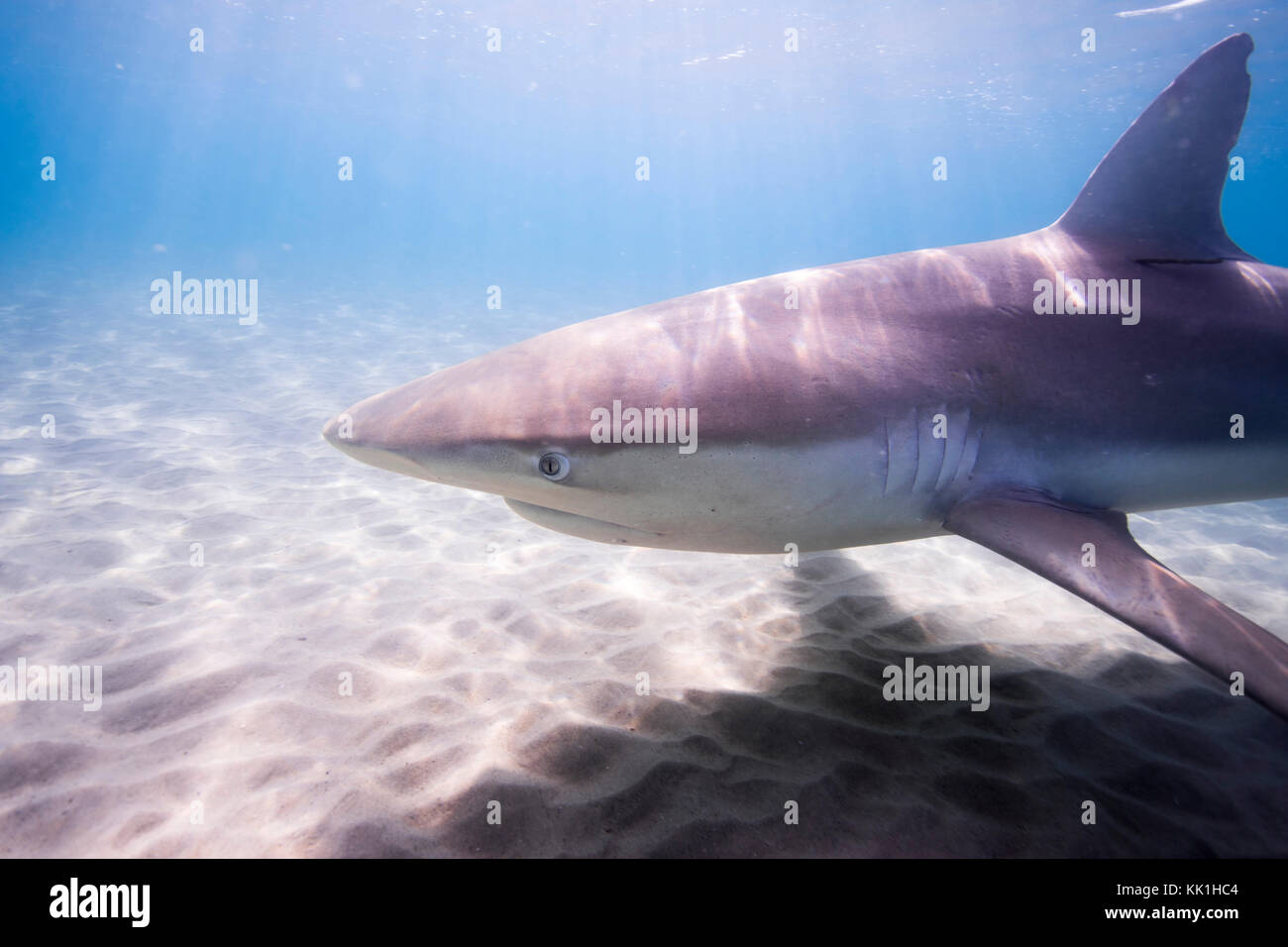 Dusky shark (Carcharhinus obscurus) a species of requiem shark, in the family Carcharhinidae, occurring in tropical Stock Photo