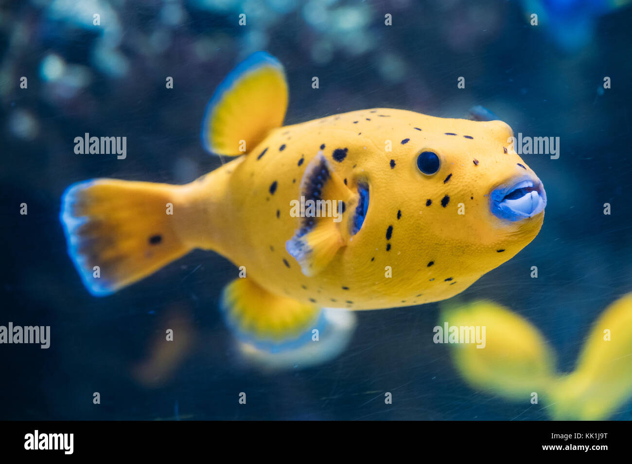Yellow Blackspotted Puffer Or Dog-faced Puffer Fish Arothron Nigropunctatus Swimming In Water. If Not Prepared Properly, Stock Photo