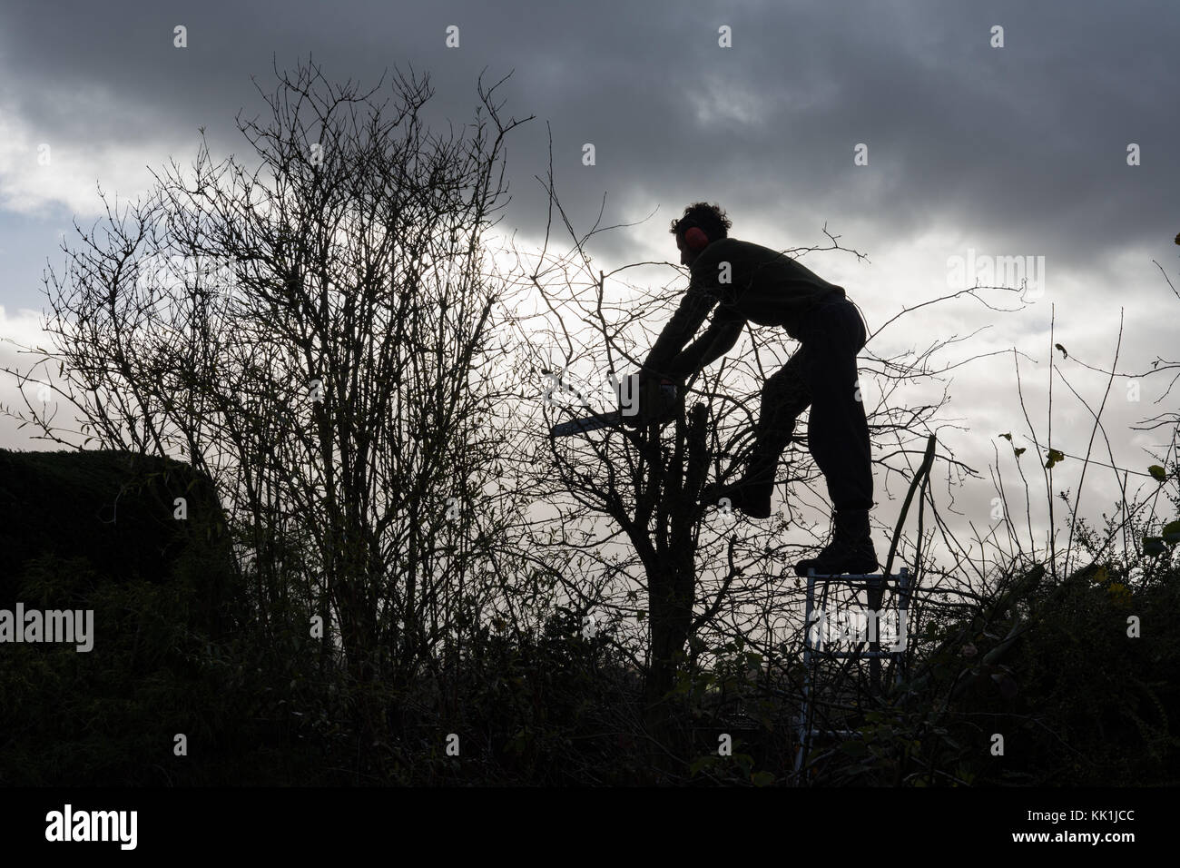 Hedge trimming at the start of winter - Stock Image