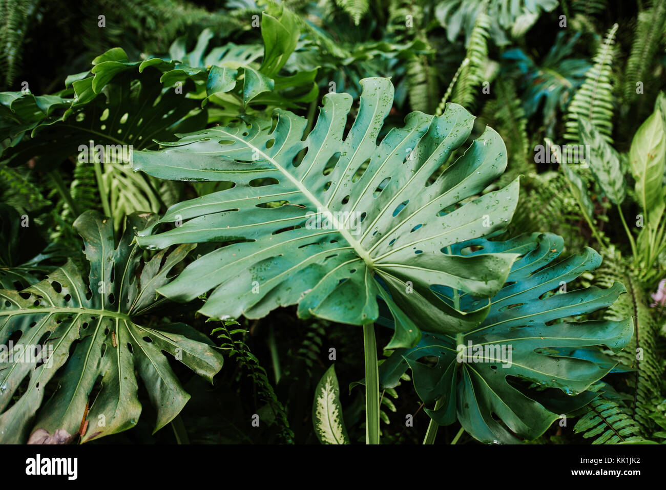 Grean leaf of Monstera plant in forest - Stock Image