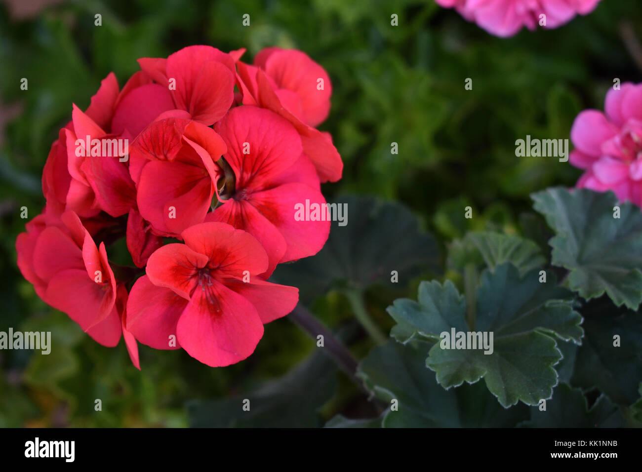 Australian Survivor Geranium flowers - Stock Image