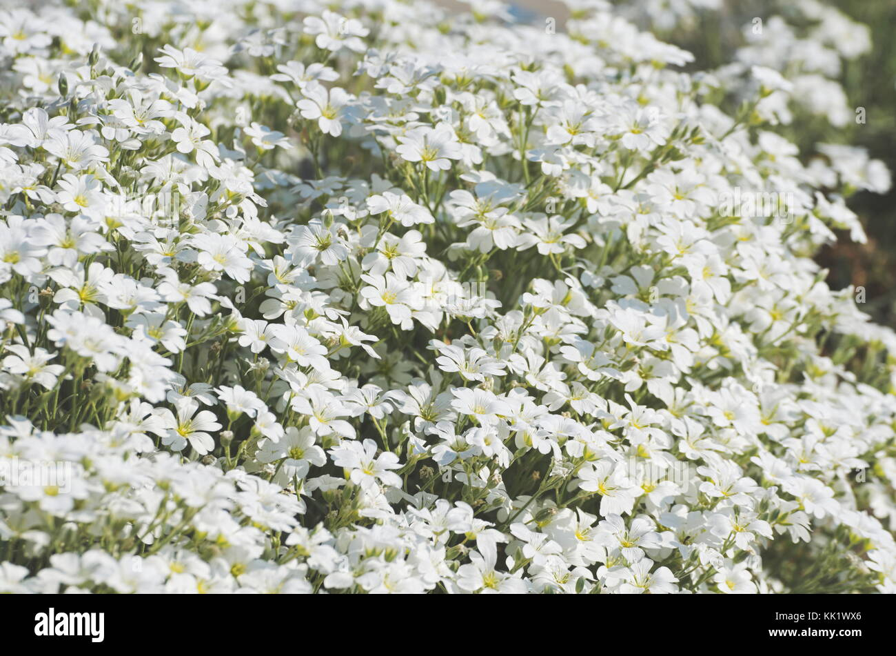 Many tiny white flowers stock photos many tiny white flowers stock lush field of small white flowers closeup stock image mightylinksfo