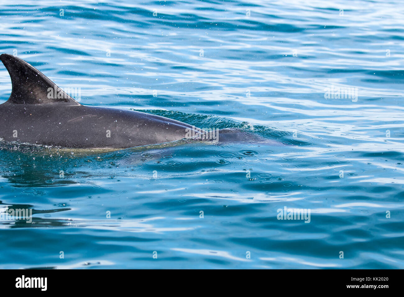 Common Dolphins (cetaceans) underwater sea, and breaking the water by jumping out of the Sea at Padstow, Cornwall - Stock Image