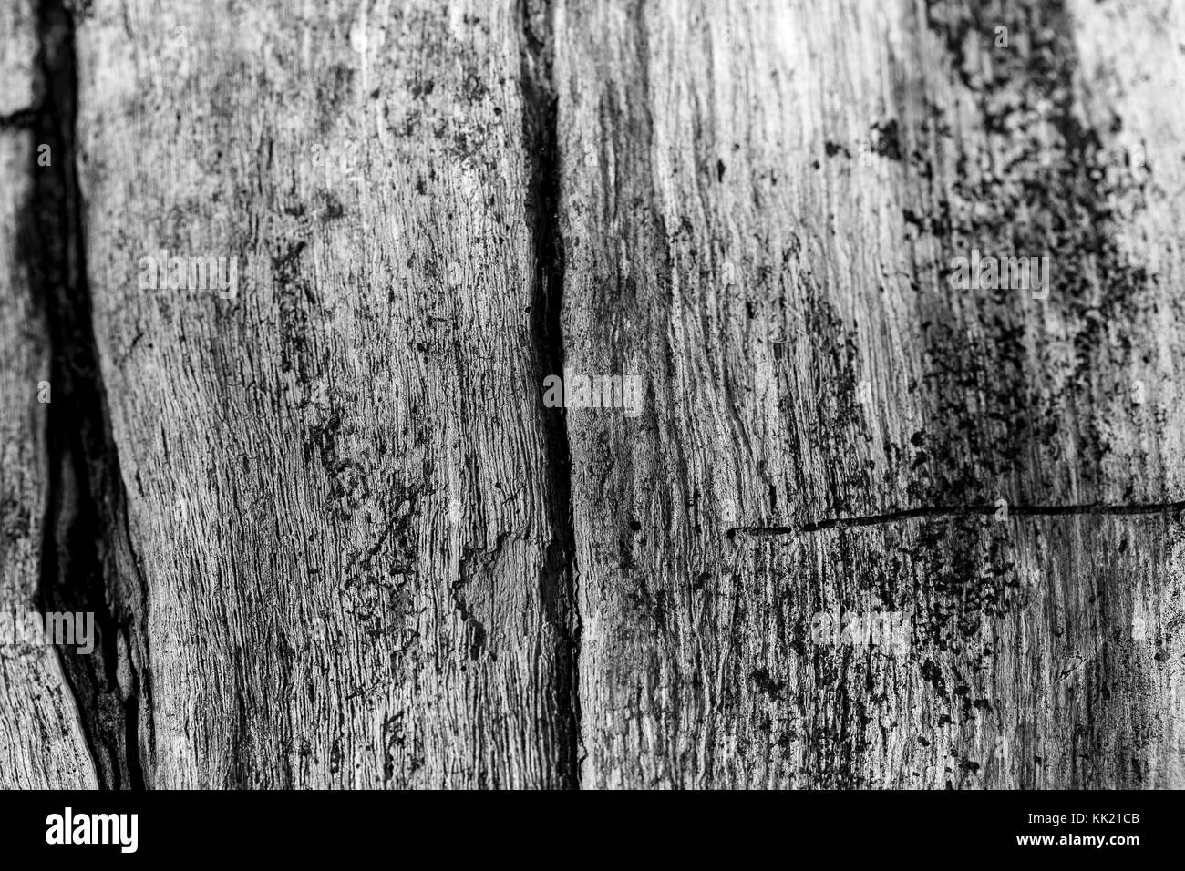 The bark of the old tree. Without color. Background. Close-up - Stock Image