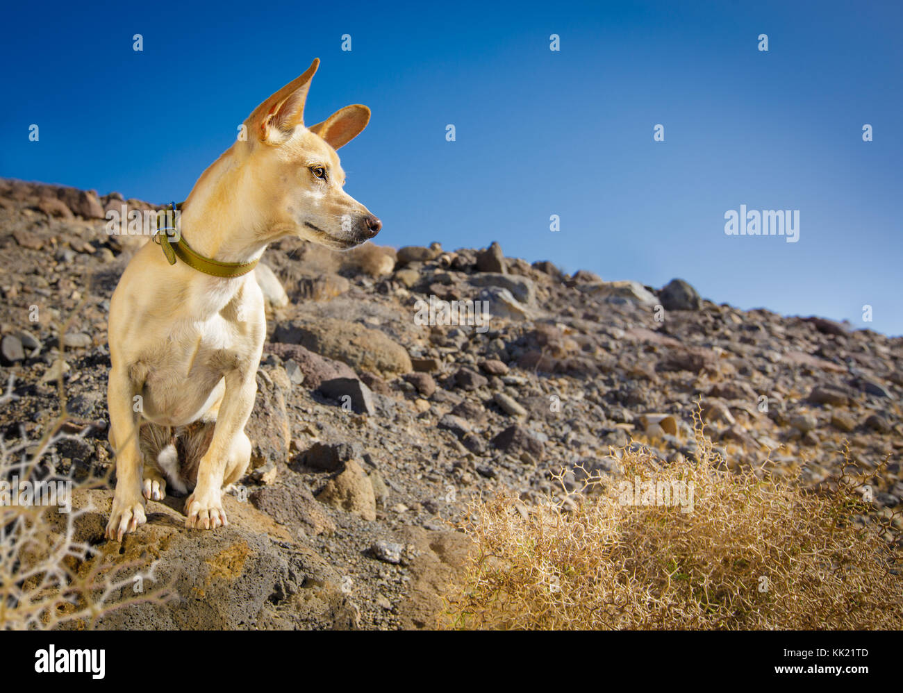 chihuahua dog watching and looking at owner ready to go for a walk outdoors and outside on the desert mountain - Stock Image