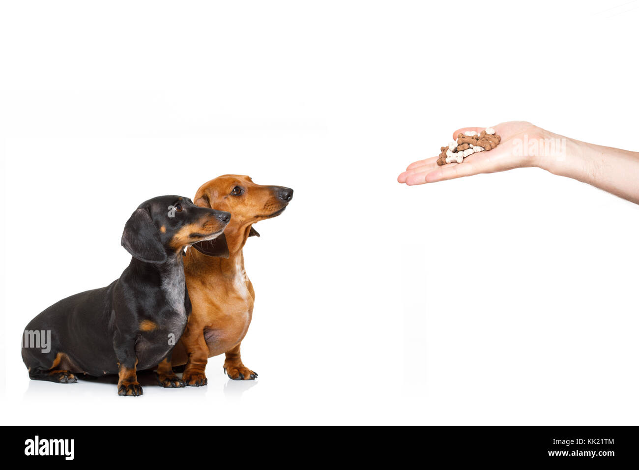 couple of hungry dachshund sausage dogs , for a treat  by his owner , isolated on white background for a meal or - Stock Image