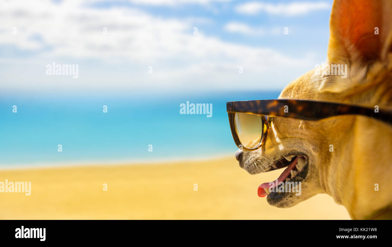chihuahua dog watching and looking at the beach and ocean wearing funny sunglasses, on summer vacation holiday - Stock Image