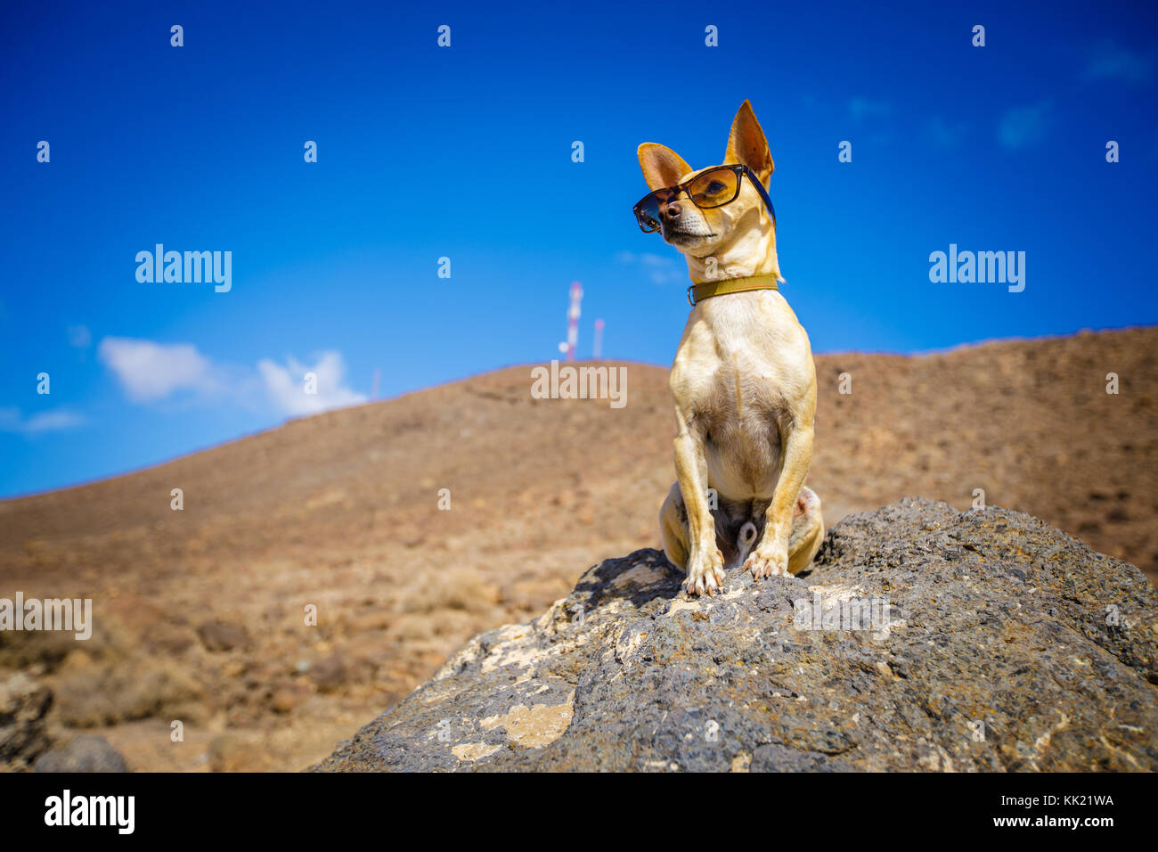 chihuahua dog watching and looking at the mountain outside , on summer vacation holidays wearing funny sunglasses - Stock Image