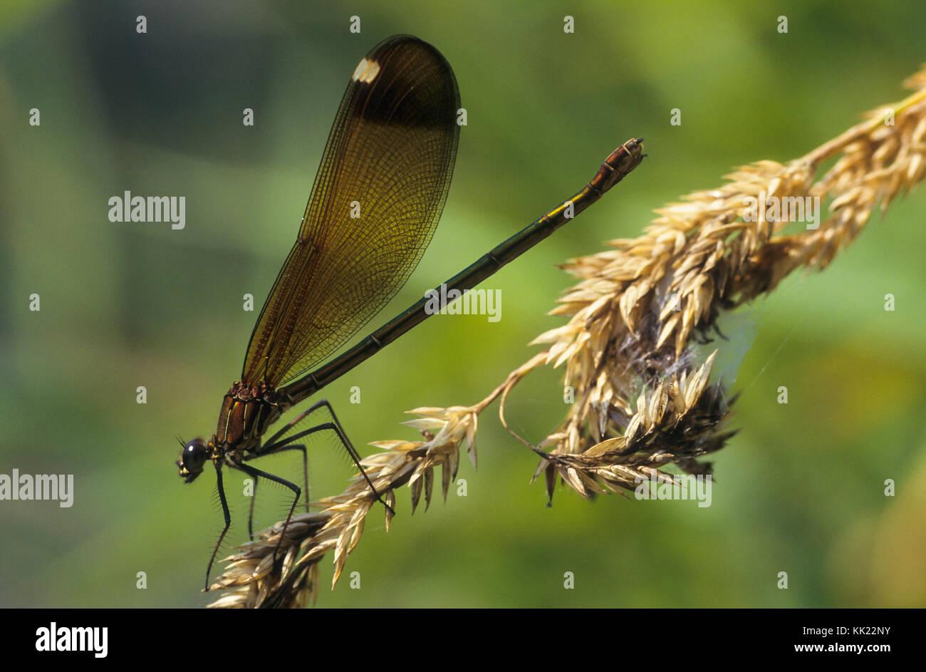 Bronzene Prachtlibelle, Braune Prachtlibelle, Rote Prachtlibelle, Weibchen, Calopteryx haemorrhoidalis, Calopteryx Stock Photo