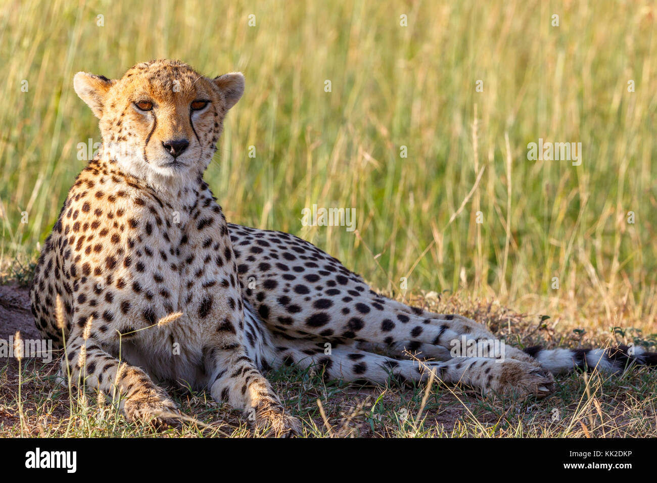 Cheetah lying in the grass and looking at the camera - Stock Image