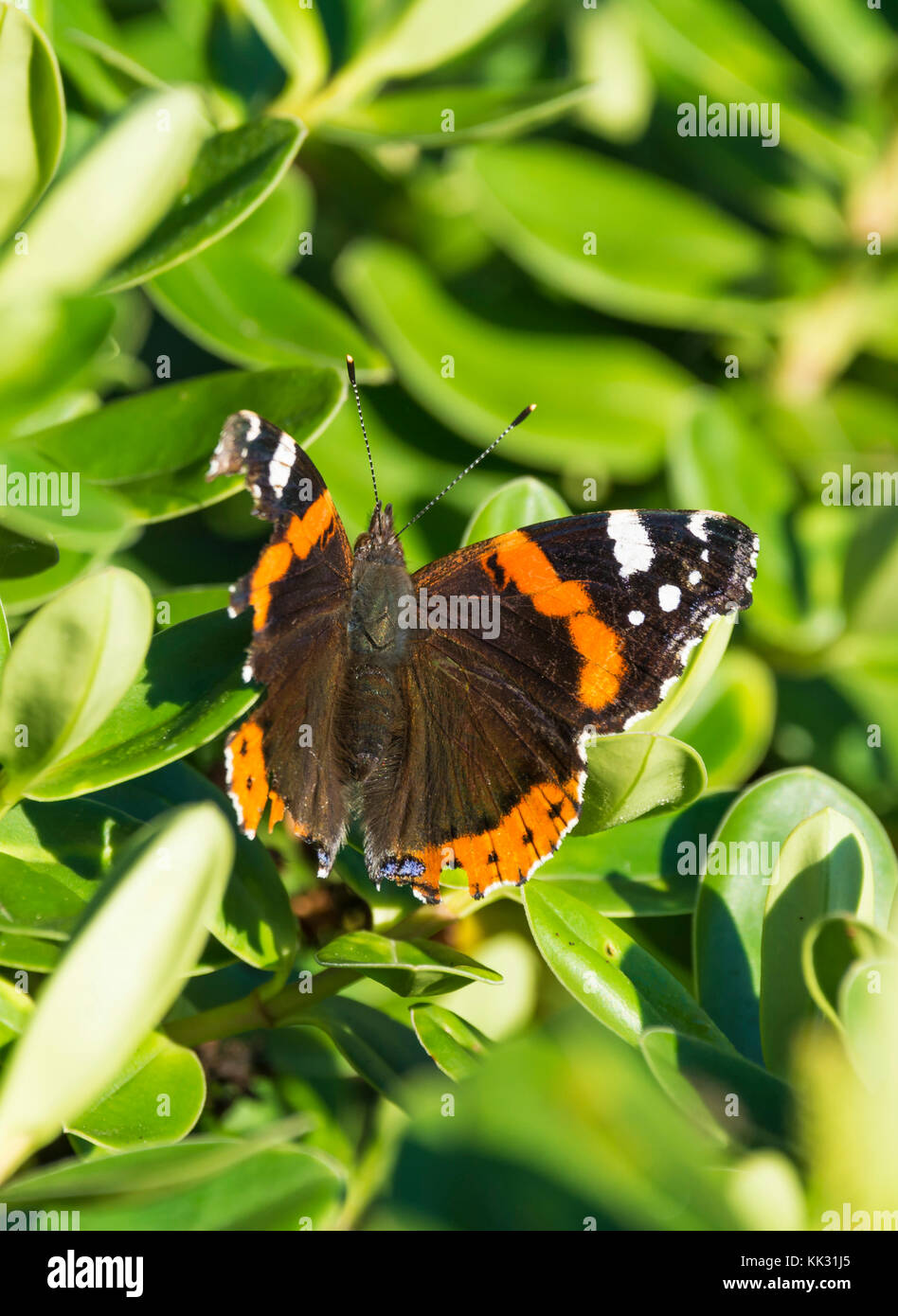 Red Admiral butterfly (Vanessa atalanta, Red admirable) in a tree in Autumn in West Sussex, in the South of England, - Stock Image