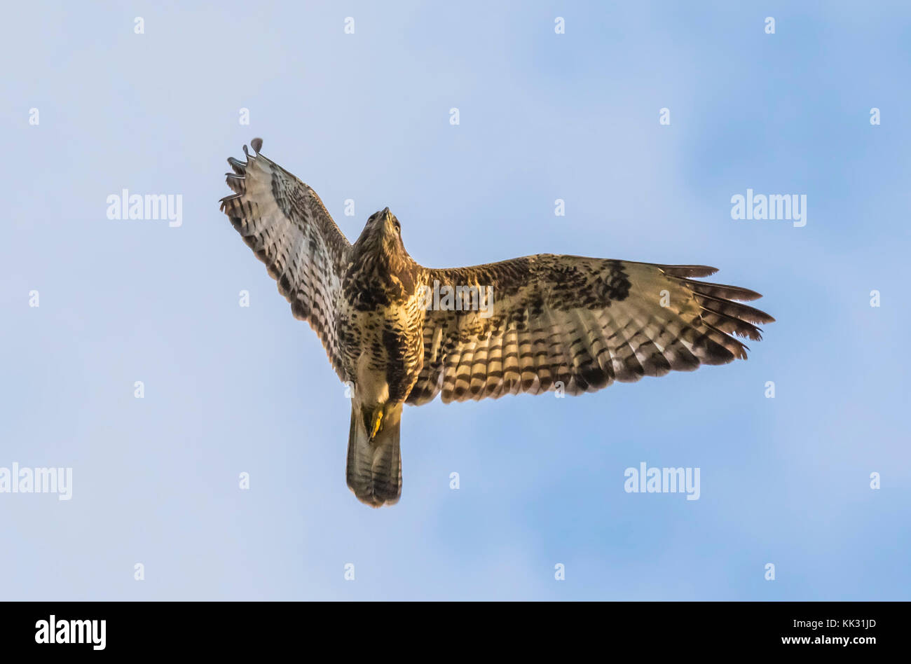 Common Buzzard (Buteo buteo) flying in Autumn in Arundel, West Sussex, England, UK. - Stock Image