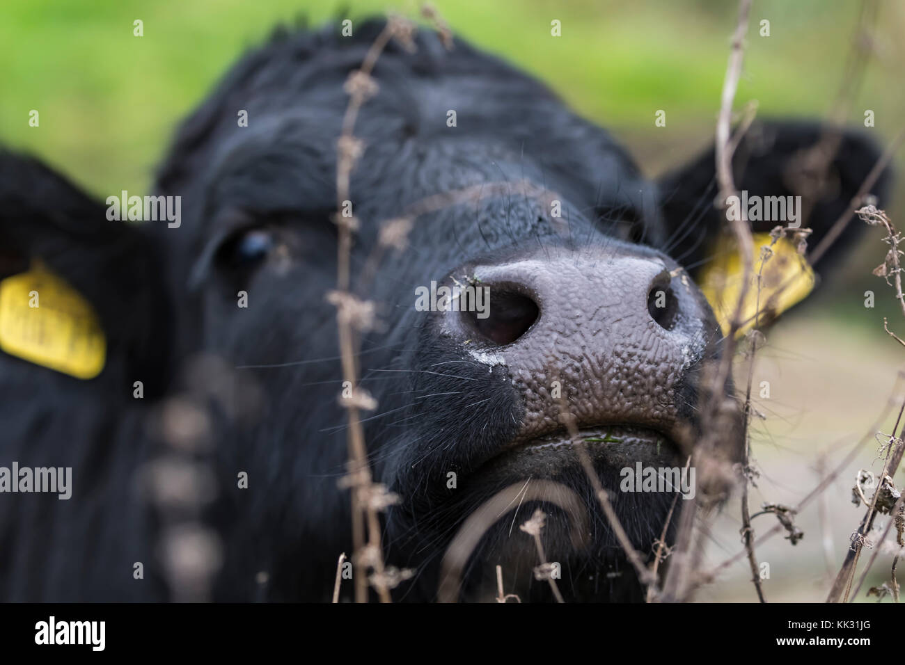 Head and face of a cow, focused on it's nose, looking at the camera. - Stock Image