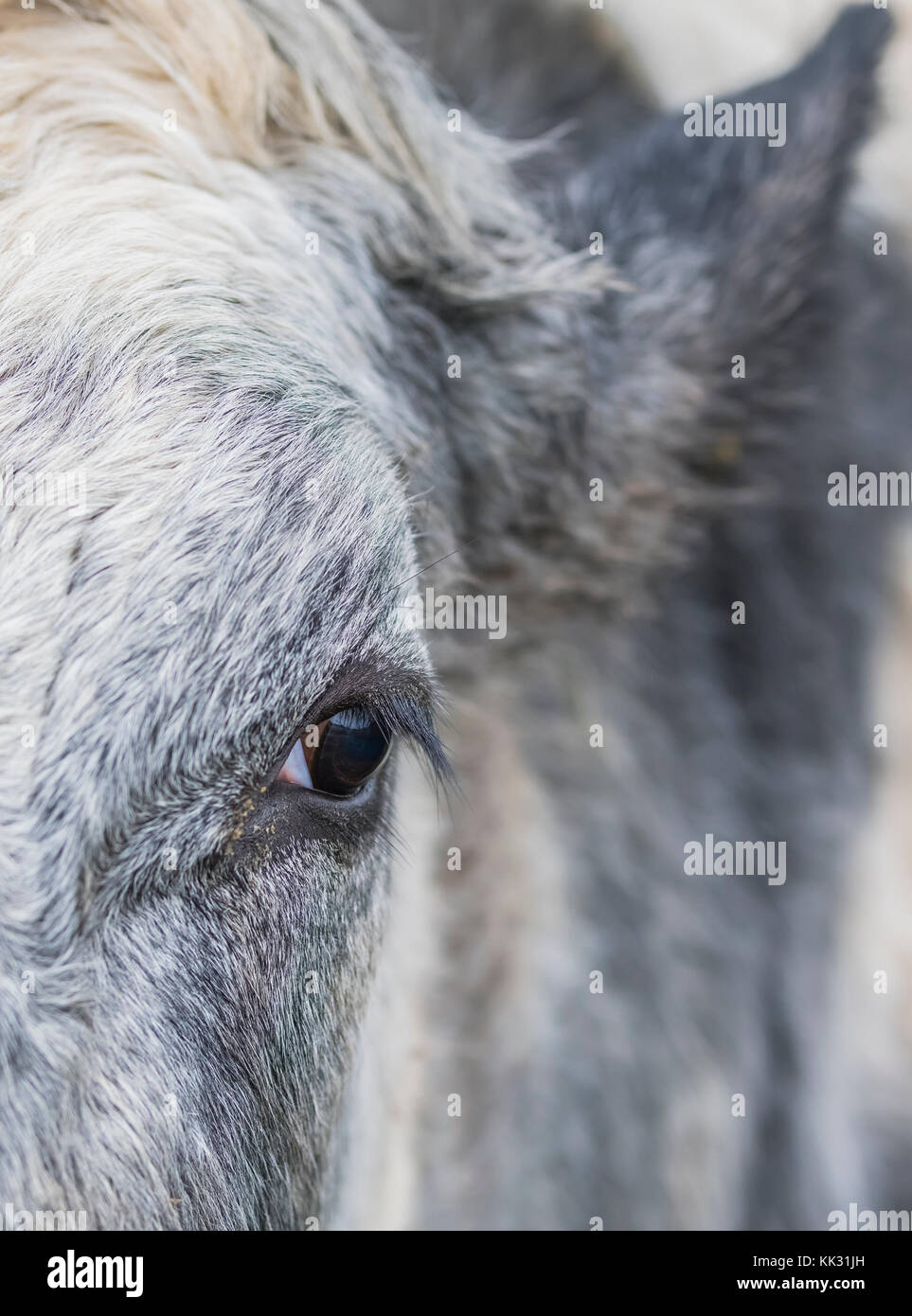 Closeup of a cow's eye in portrait view. - Stock Image