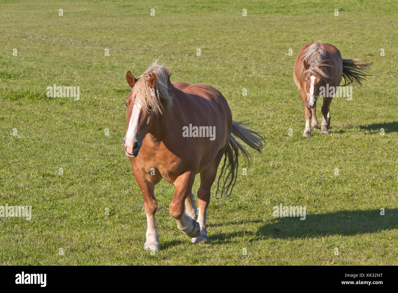 Two North Swedish horses - Stock Image