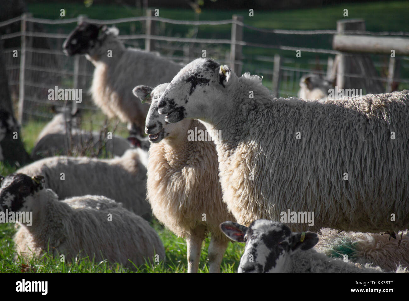Sheep : North Country mule ewe with tails on grass with long wool before shearing, livestock in East Sussex Kent Stock Photo
