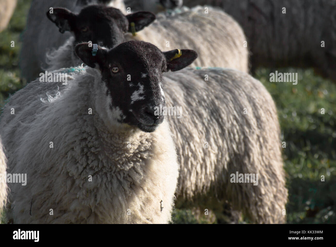 sheep north country mule ewe with tails on grass with long wool