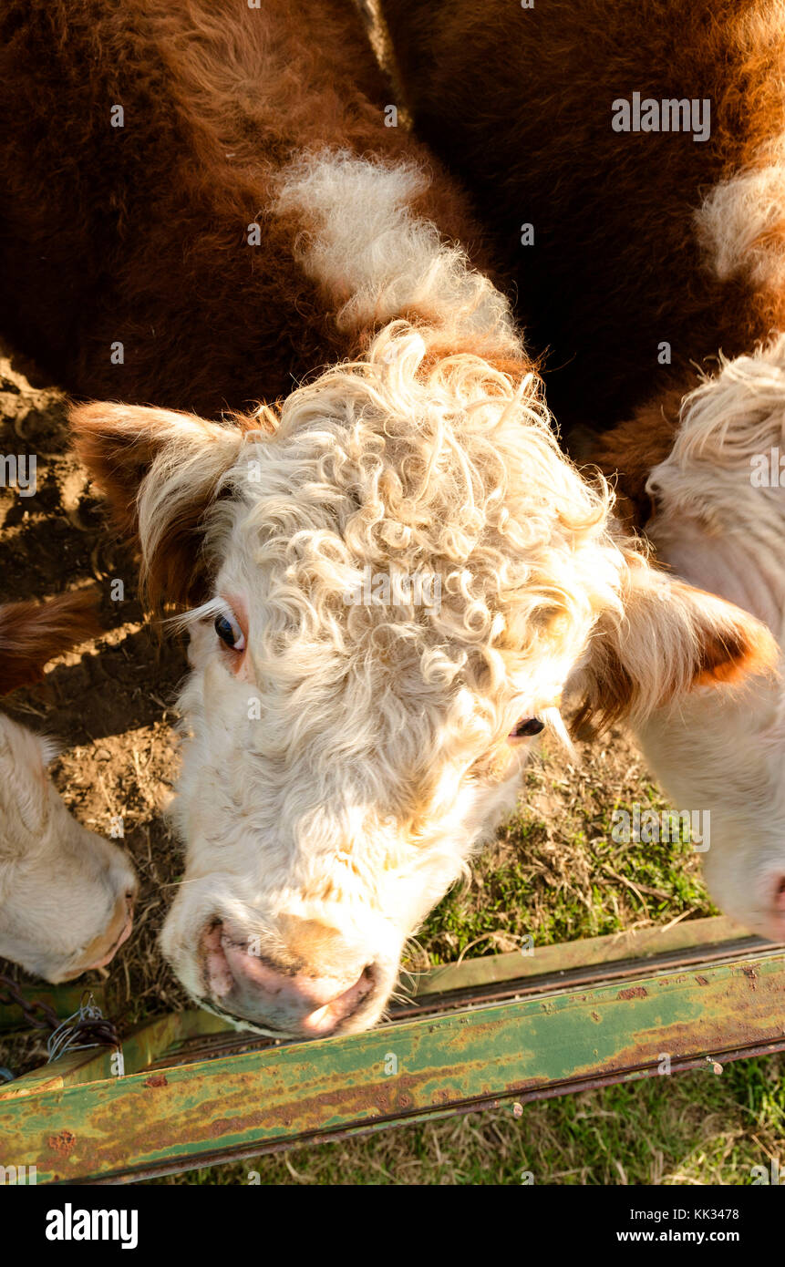 looking down on a miniature Wilshire bull at the fence - Stock Image
