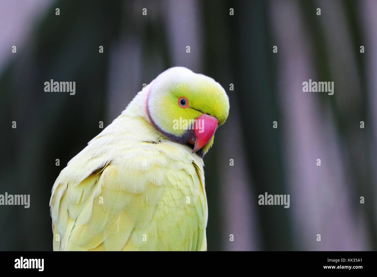 Closeup of a parrot, South Africa - Stock Image
