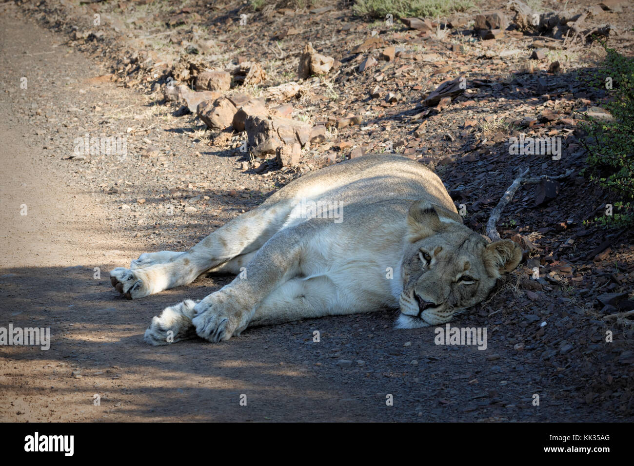 Tired lion in the Kruger National Park, South Africa Stock Photo
