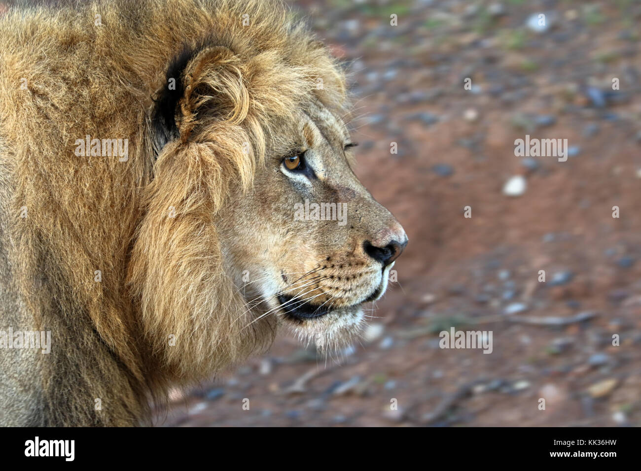 Close up of male lion in the Kruger National Park, South Africa - Stock Image