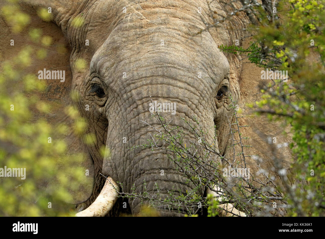 Elephants in the Addo Elephants National Park, South Africa. - Stock Image