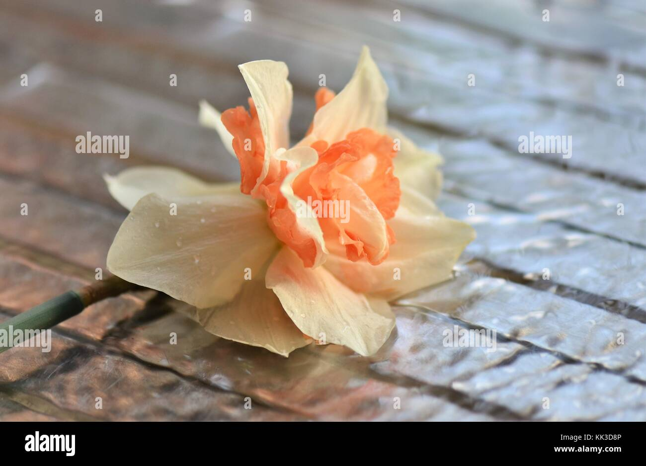Cut springtime Daffodil laying on a draining board in running water - Stock Image