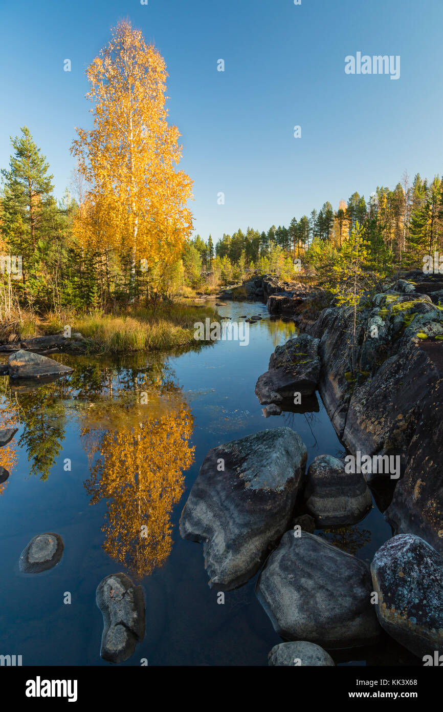 Birch tree at Storforsen reflecting in water, nice yellow colored leaves, Älvsbyn county, Norrbotten, Sweden - Stock Image