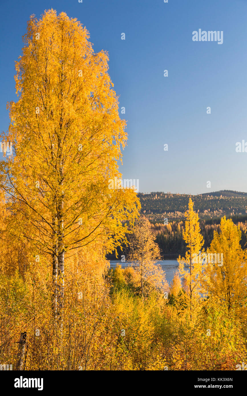 Autumn landscape with birch tree and mountain in background, Älvsbyn county, Norrbotten Sweden - Stock Image