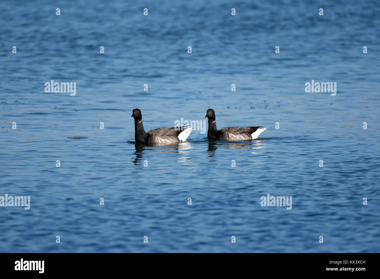 Brent geese at high tide - Stock Image