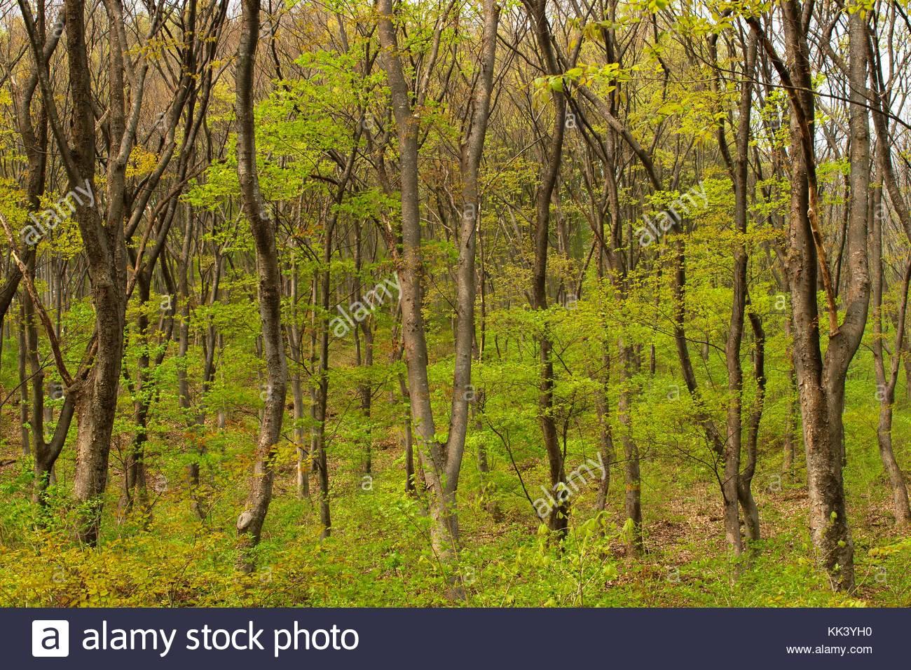 zelkova forest Korea National Arboretum Gwangneung Arboretum - Stock Image