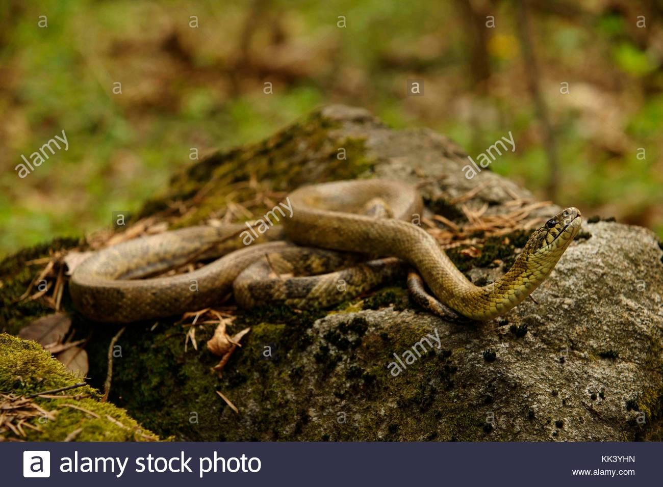 kind of yellow serpent Korea National Arboretum Gwangneung Arboretum - Stock Image