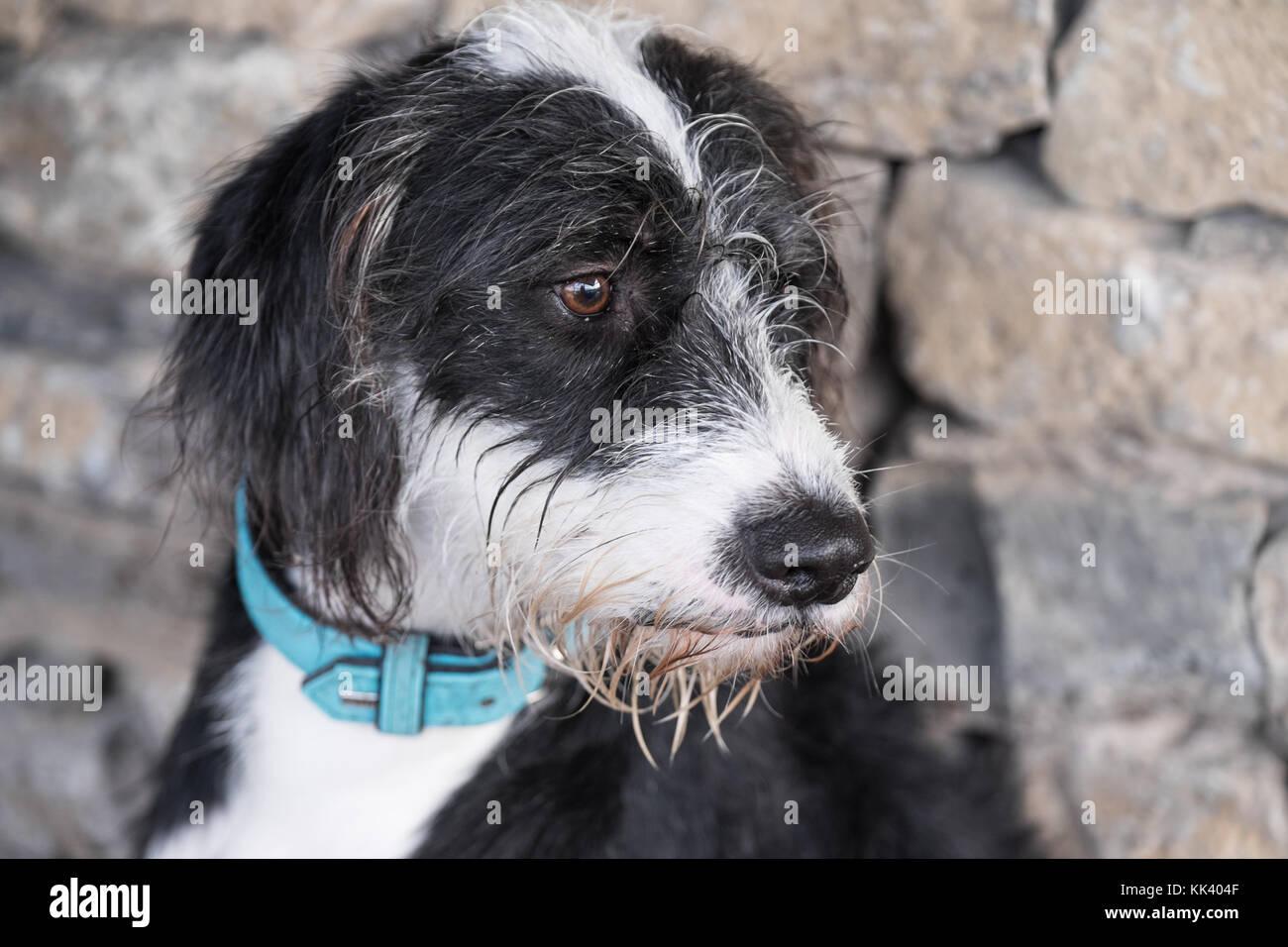 Scruffy black white dog