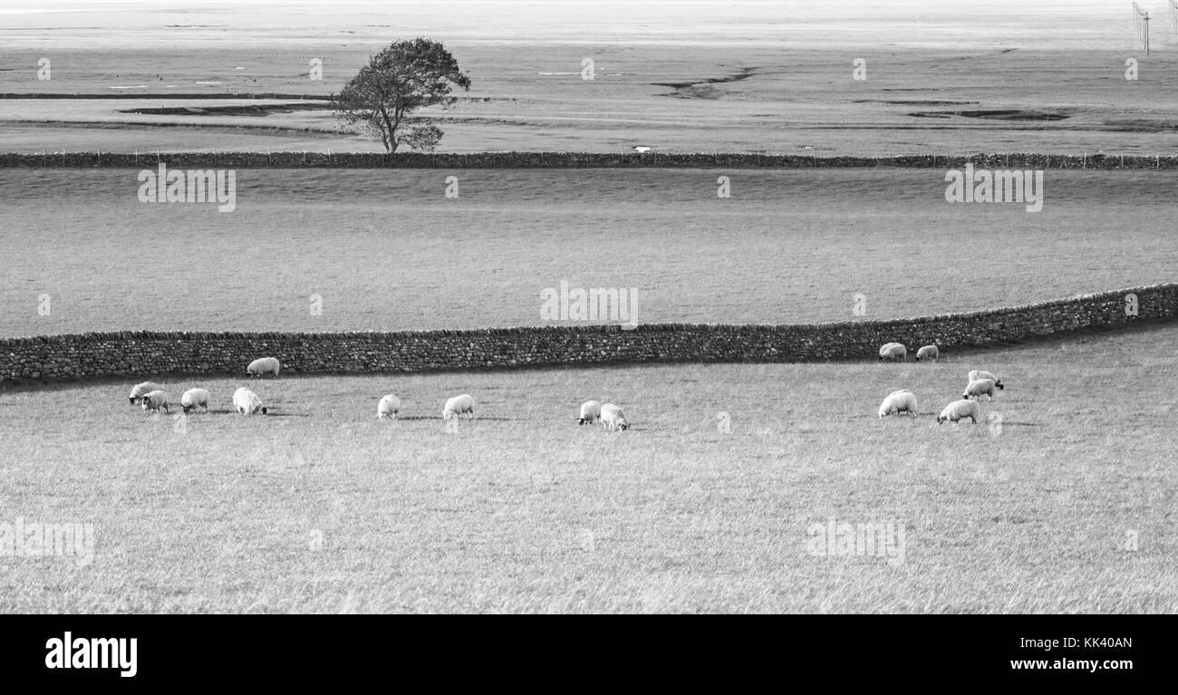 Pasture land & flock, Cumbria - Stock Image