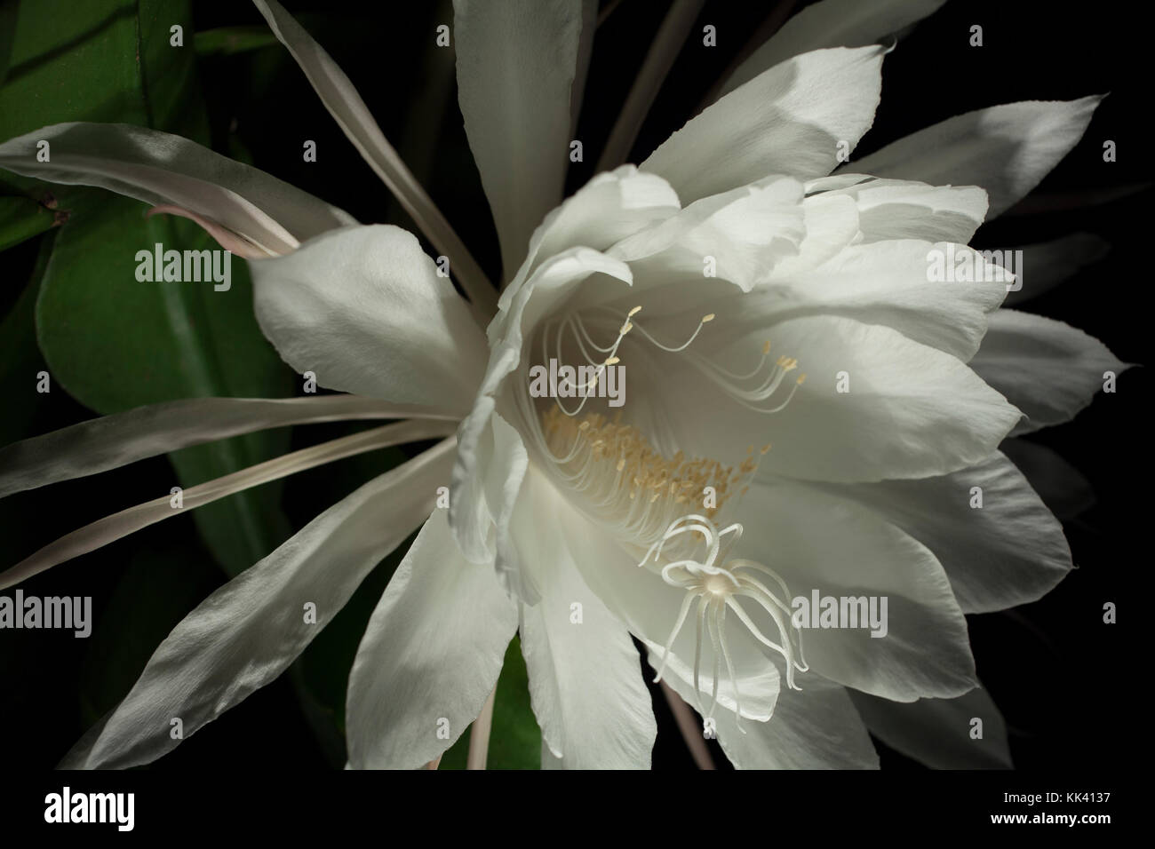 The Night Blooming Cereus Blooms Usually Only Once A Year And The