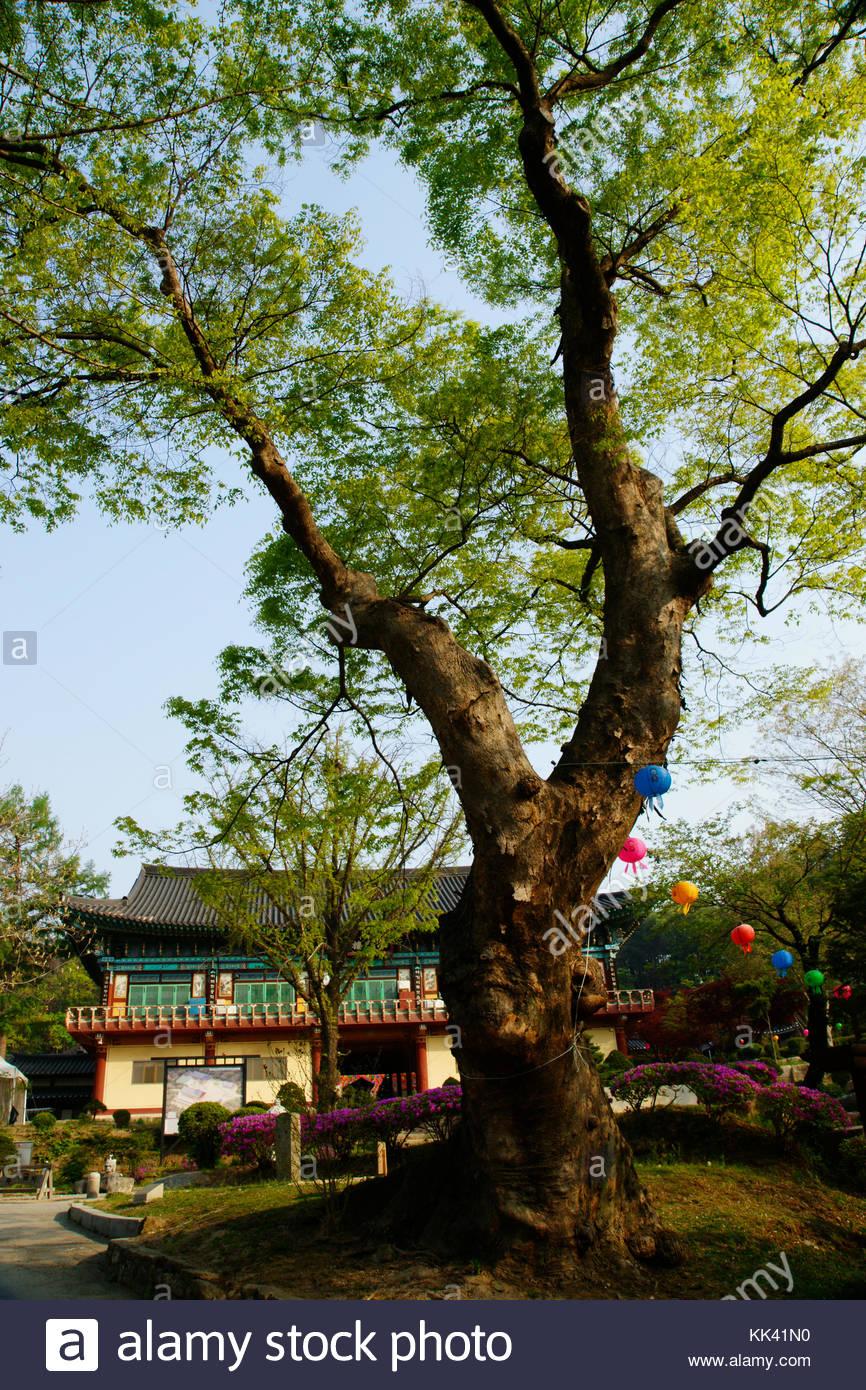 Korean traditional temple Gwangneung Bongseonsa temple zelkova tree - Stock Image