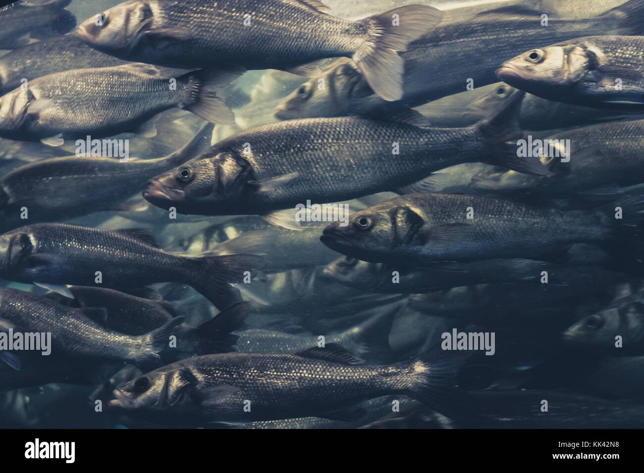 fish swarm, many fishes swimming in one direction - Stock Image