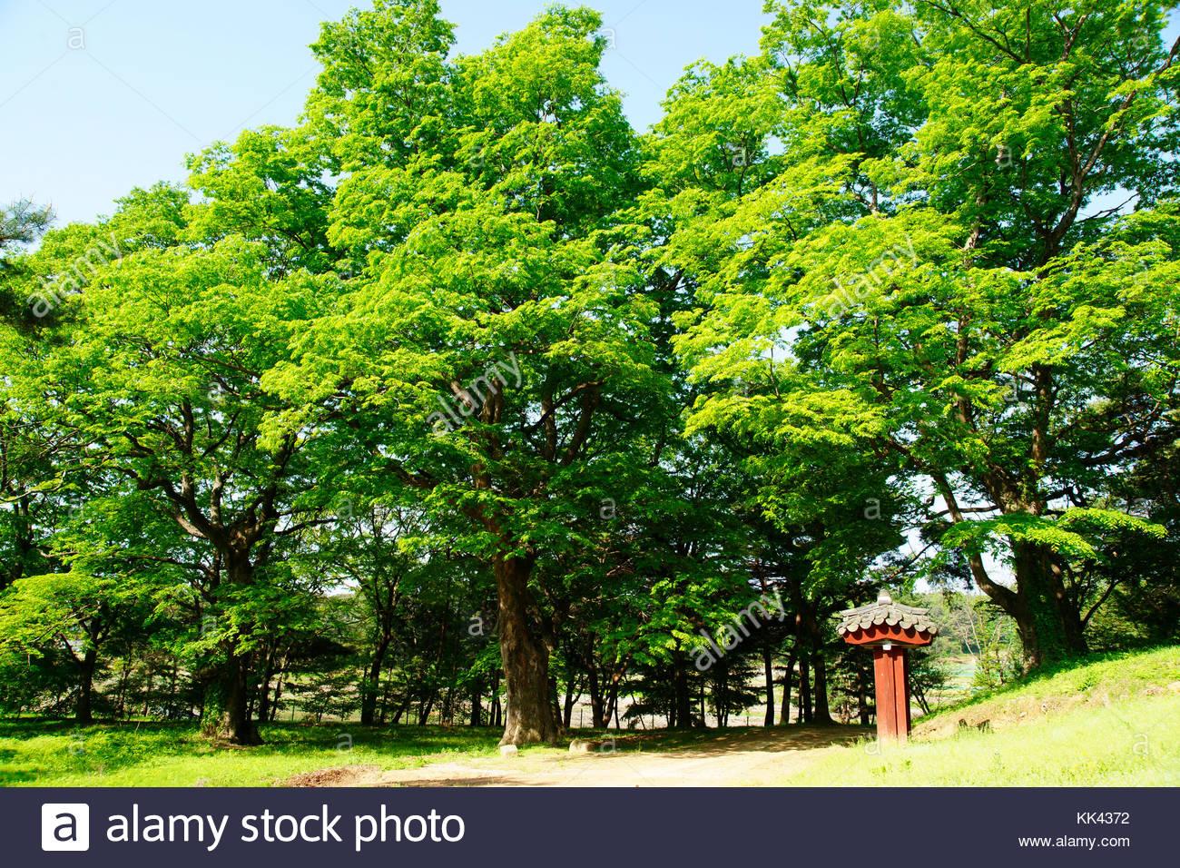 Korean history Royal Tombs of the Joseon Dynasty King Injo zelkova tree - Stock Image