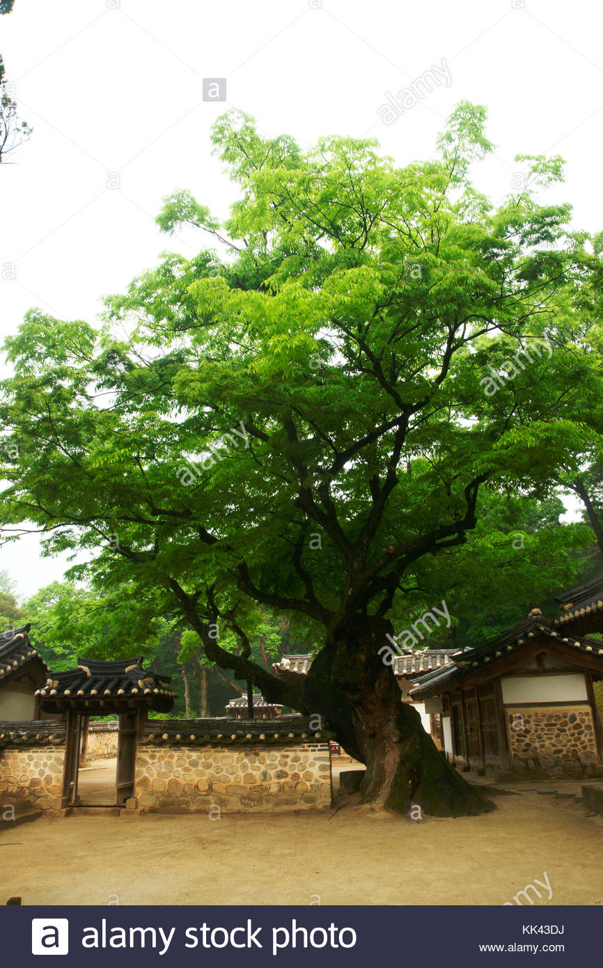 Korean history Royal Tombs of the Joseon Dynasty King Hyojong zelkova tree - Stock Image