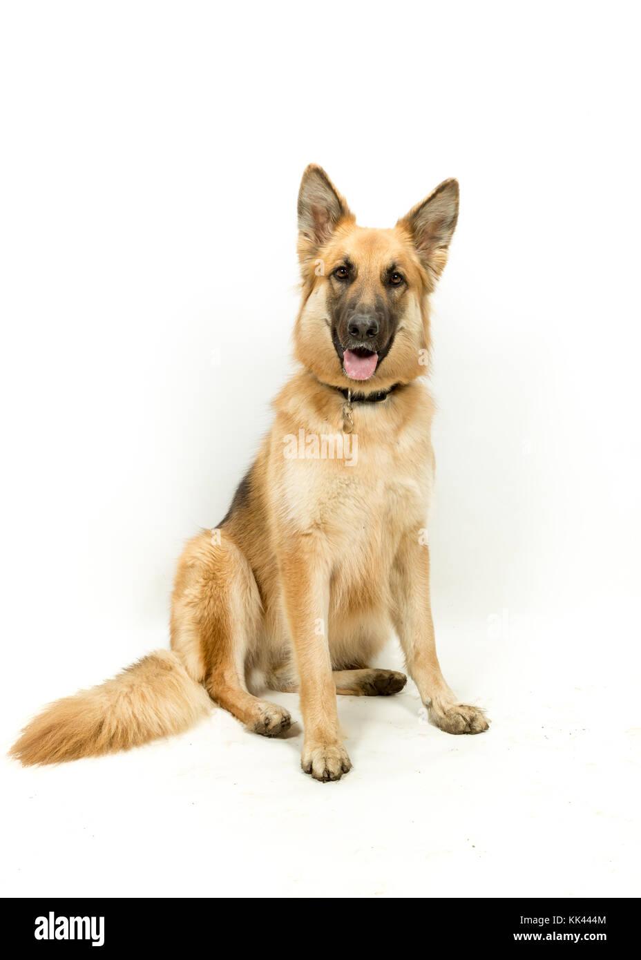 Golden Brown German Shepherd Alsatian Dog Sitting against White Background - Stock Image