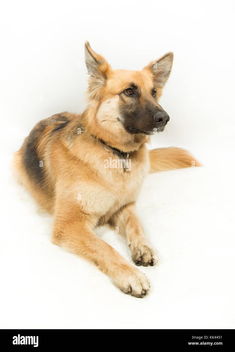 Golden Brown German Shepherd Alsatian Dog Lying Down on White Background - Stock Image