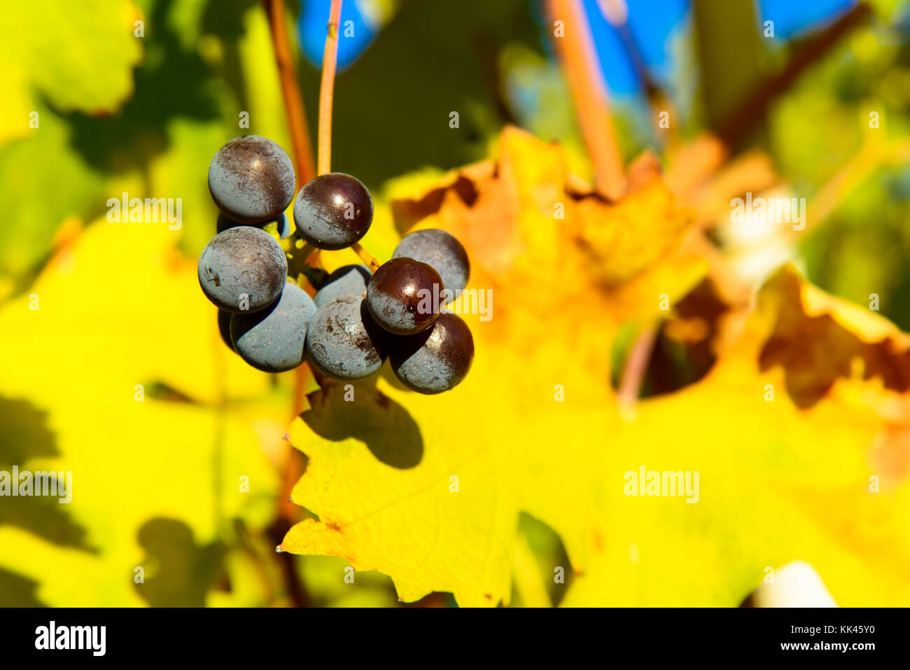 Small bunches of grapes left in the vineyard after harvest in the late autumn, at the bottom the colorful landscape Stock Photo