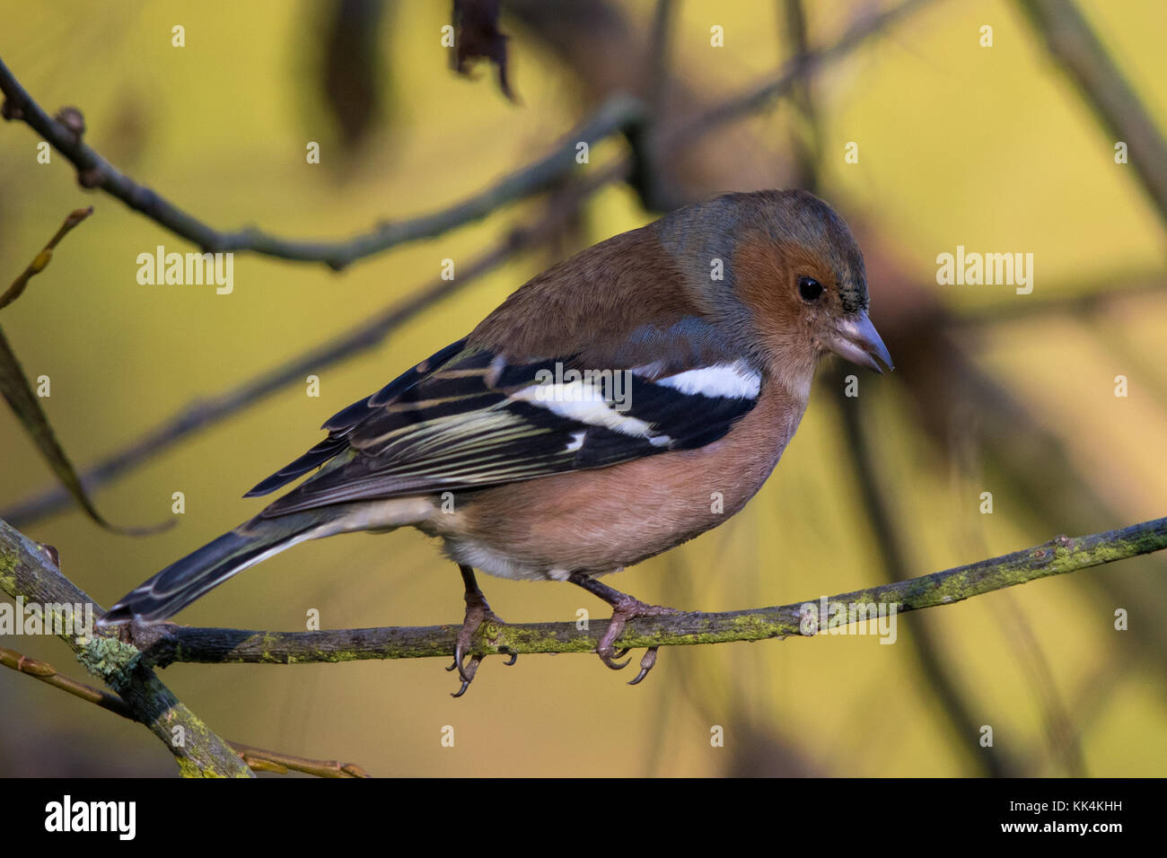 male Common Chaffinch (Fringilla coelebs) - Stock Image