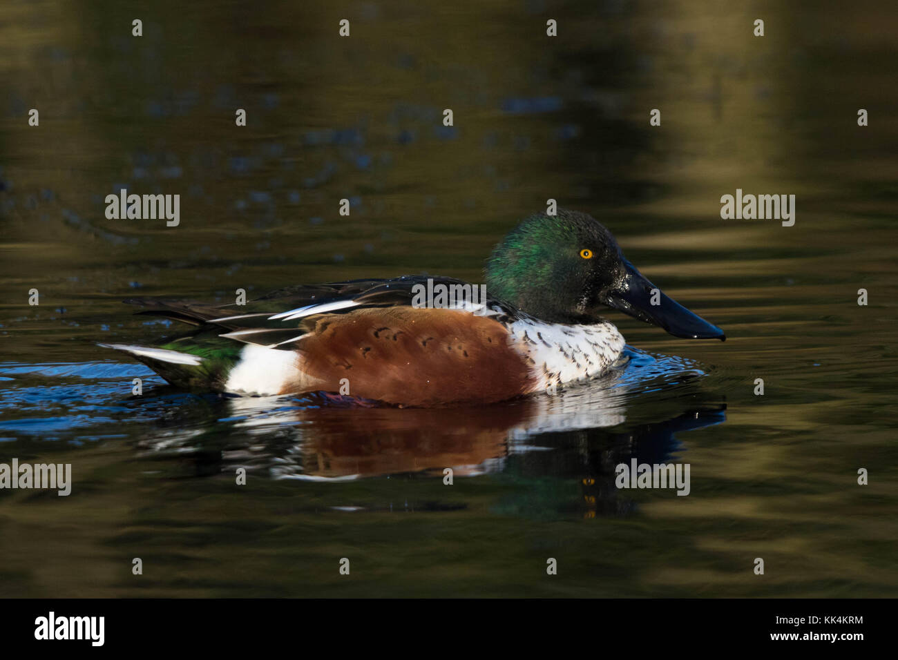 male Northern Shoveler (Spatula clypeata (formerly Anas clypeata) swimming on a pond - Stock Image