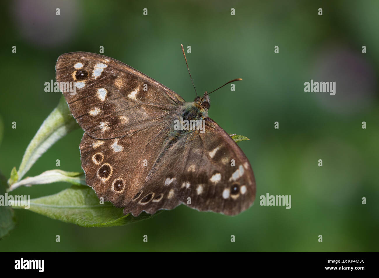 Speckled Wood (Pararge aegeria) butterfly resting on a leaf - Stock Image